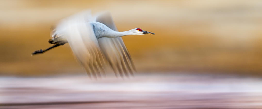 Audubon Rockies Sandhill Crane