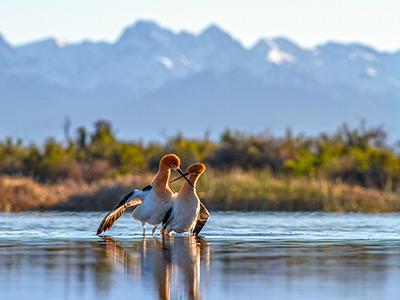 American Avocets performing courtship display.