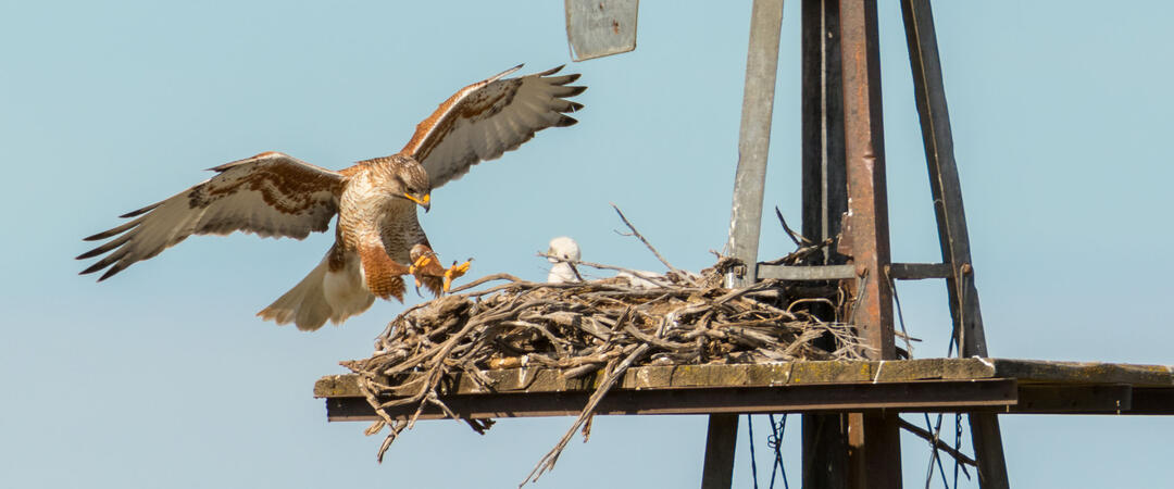 A Ferruginous Hawk lands at its nest with a chick in it.