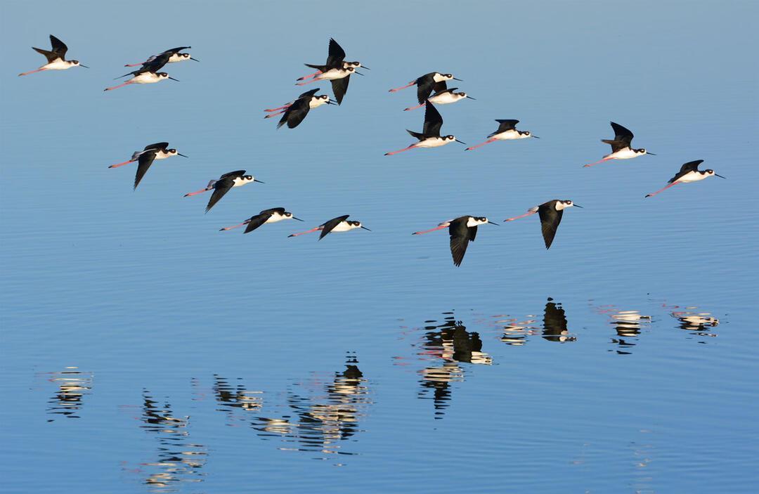 A flock of Black-necked Stilts flies over a wetland.