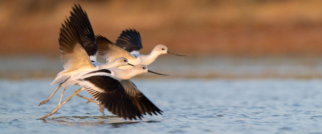 Three American Avocets take flight from a wetland.