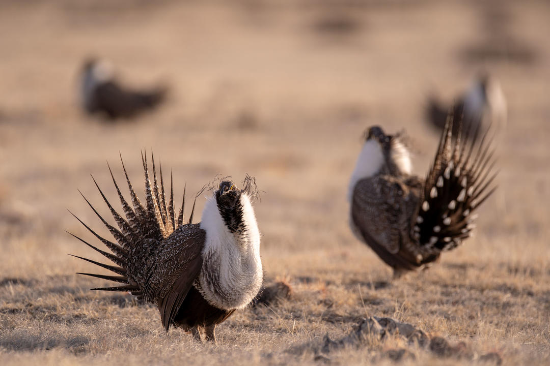 Greater Sage-Grouse lekking on BLM land managed by Pathfinder Ranches in Natrona County, Wyoming.
