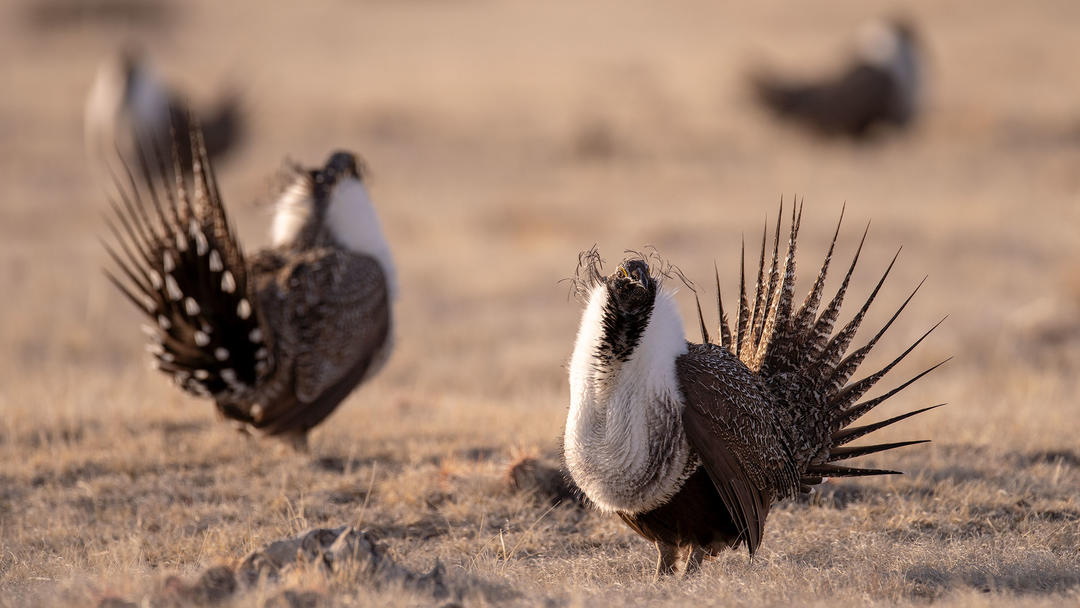 Greater Sage-Grouse.