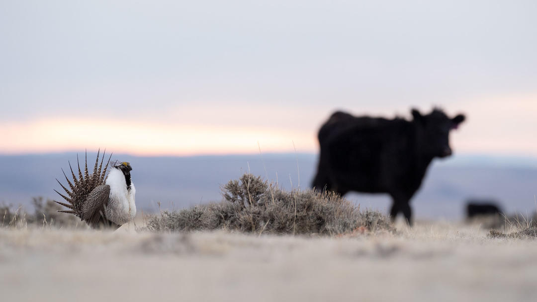 Greater Sage-Grouse and cow on land managed by Pathfinder Ranches in Natrona County, Wyoming.