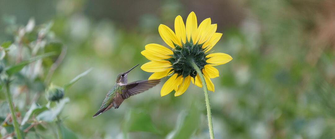 Broad-tailed Hummingbird visiting annual sunflower