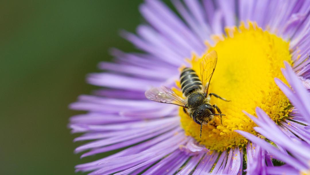 A native leafcutter bee in a Habitat Hero garden.
