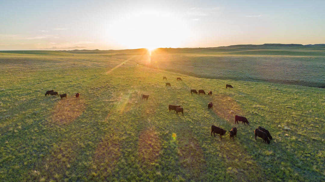 Cattle grazing on Rockin' 7 Ranch in Wyoming, certified by Audubon's Conservation Ranching Initiative.