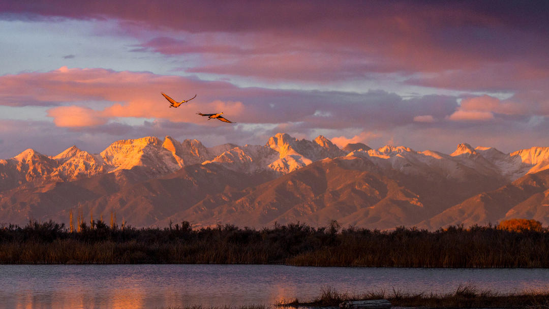 Sandhill Cranes in Colorado's San Luis Valley.