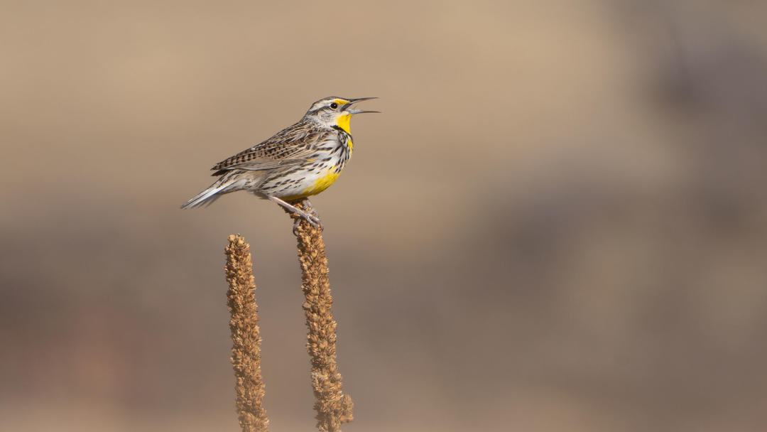 A Western Meadowlark sings.