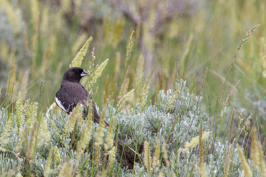 Lark Bunting, Colorado's state bird, threatened with extinction from climate change.