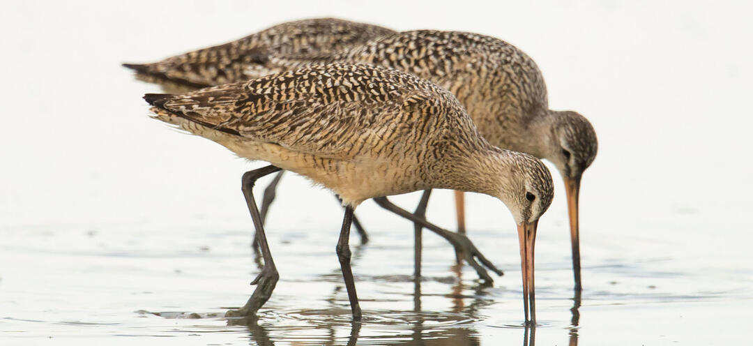 Marbled Godwits forage in a wetland.
